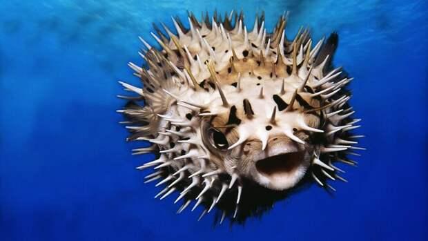 Рыба фугу из семейства иглобрюхих – пожалуй, самая известная ядовитая рыба, употребляемая в пищу. Если у повара лишь чуть-чуть не хватит мастерства в очищении мяса рыбы от токсинов, яд надёжно отправит любителей экзотических блюд на тот свет.