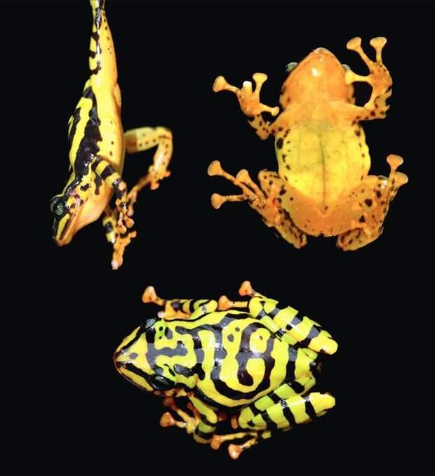 Pristimantis ecuadorensis 2017 год, биология, животные, новые виды животных, открытые животные, природа, фауна, эндемики