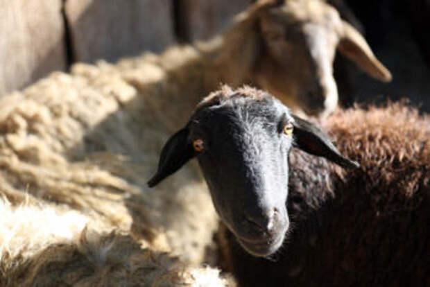 В Казахстане отменили экспортную пошлину на шерсть