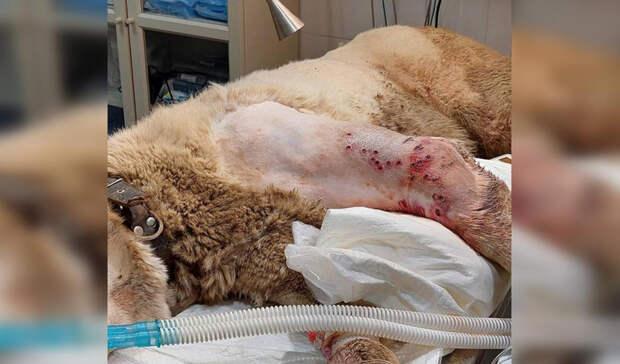 В Уфимскую ветклинику поступила собака с дробовым ранением