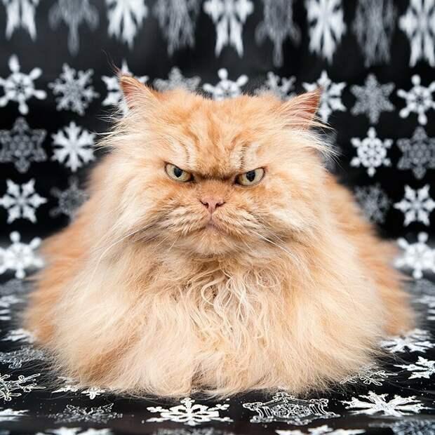 Гарфи (Garfi) grumpy cat, животные, коты, кошка, кошки, мем, сердитая кошка, фото
