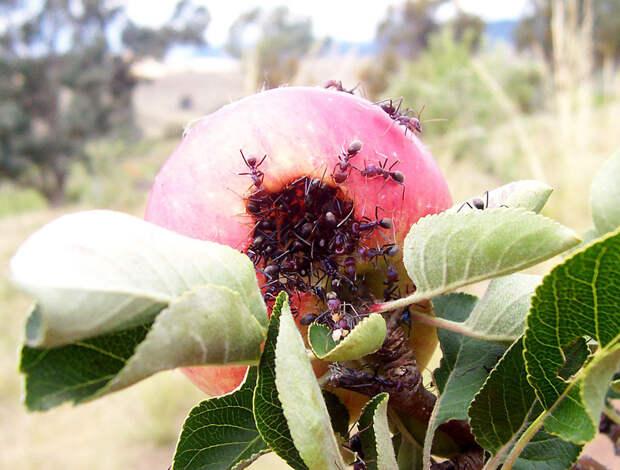 Муравьи напали на яблони