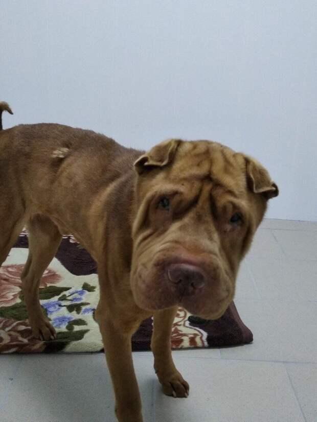 Истощенный шарпей неделями бродил по помойкам города волонтер, порода, приют, собака, шарпей