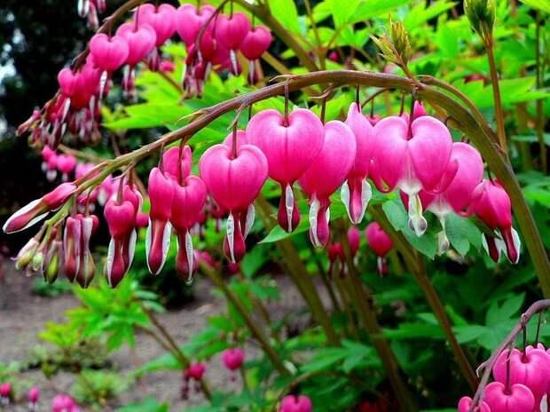 """Из-за формы цветков, дицентру называют """"разбитым сердцем"""""""