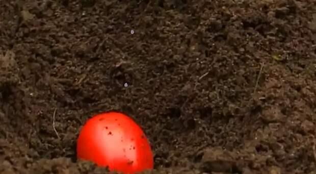 Покажу 2 способа посадки томатов на зиму в октябре. Урожай будет ранним, рассада будет мощной и устойчивая к болезням