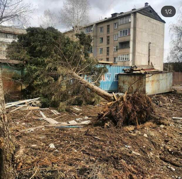 Сильный ветер повалил многолетнюю ель в микрорайоне Мостоотряд Усть-Кута