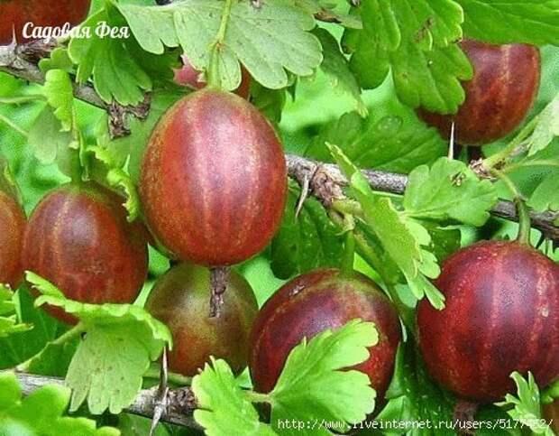 Как получать суперурожаи малины, смородины, крыжовника, вишни