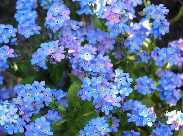Незабудки цветут мелкими синими и голубыми цветами