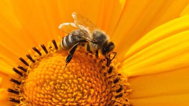 Медоносные пчелы оказались способны распознавать COVID-19 с помощью хоботка