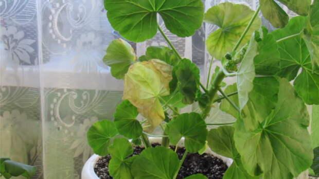 Опасные болезни герани: какие симптомы и как вылечить растение