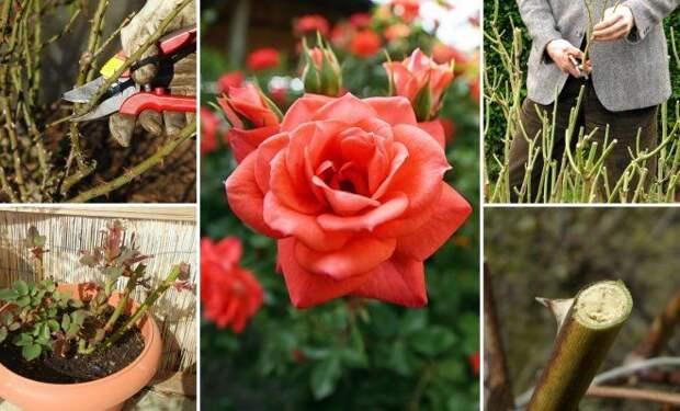 Обрезка роз весной – советы для начинающих цветоводов