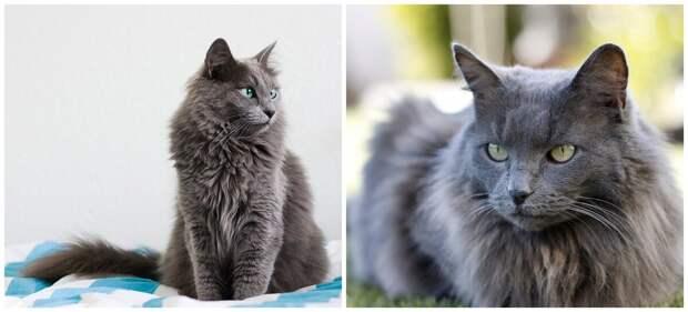 Кошка породы Нибелунг