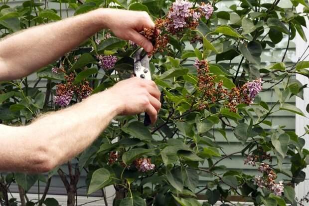 Флёр благоуханной красоты: нужно ли обламывать ветки сирени? Обрезка, Сирены, ветви, обламывание, озеленение, сад