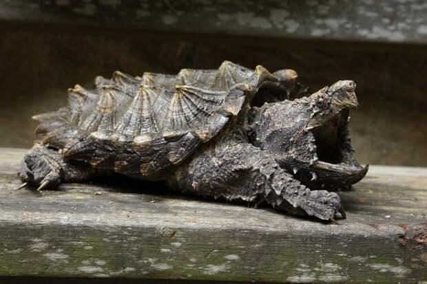Монстры среди черепах, с которыми лучше не встречаться