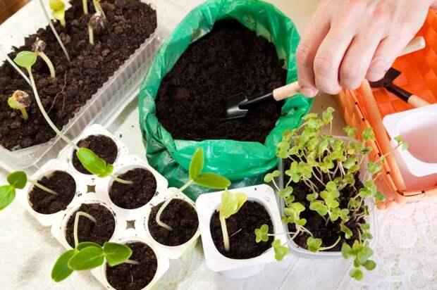 Условия выращивание рассады. Подготовка грунта