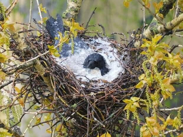 Ворона, своим телом закрывшая яйца от града