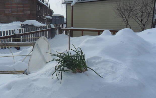 А у нас в снегу лук вырос!