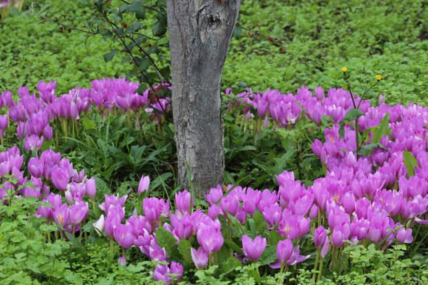 Многолетний садовый цветок Безвременник (Сolchicum)