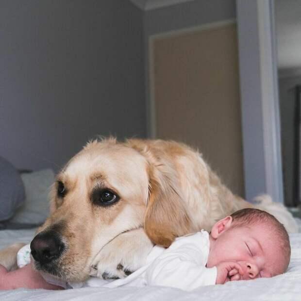 Лучшая нянька в мире – добрый ретривер Микки неусыпно охраняет малышку