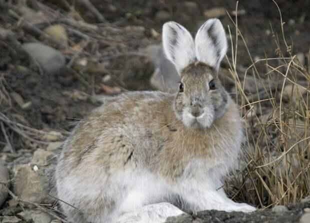 Преждевременно побелевшие канадские зайцы не стали легкой добычей для хищников