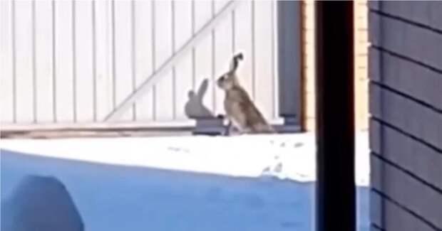 «Замуровали, демоны!»: эффектный побег зайца с участка