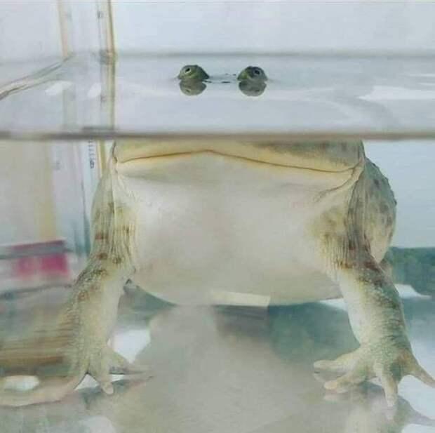 Жаба под водой