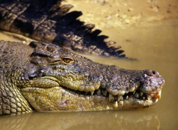 На Украине мясо крокодилов составит конкуренцию свинине