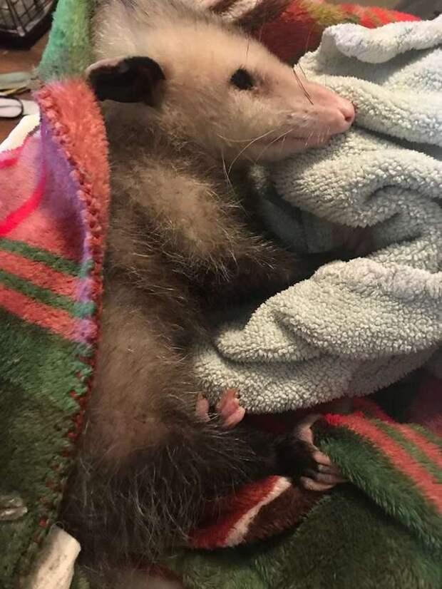 опоссум в одеяле