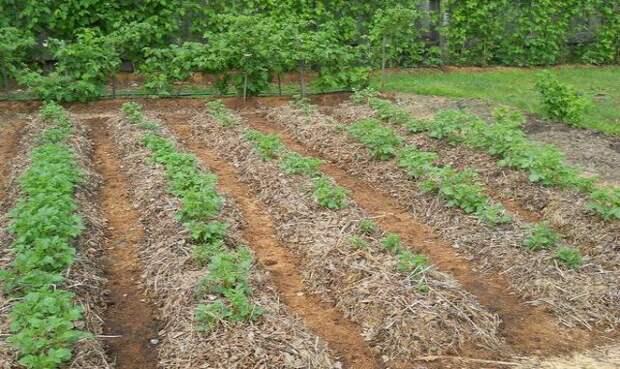 Огород под соломой — идеальное решение