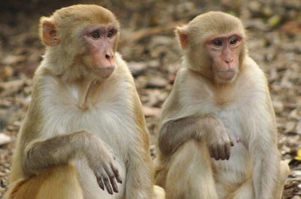 3 коротких факта об острове Морган, на котором живут обезьяны с герпесом