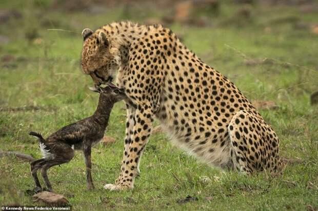 Она обескуражена такой наивностью. А может быть, действительно, на секунду принимает газель за собственное потомство и начинает ласково с ней играть