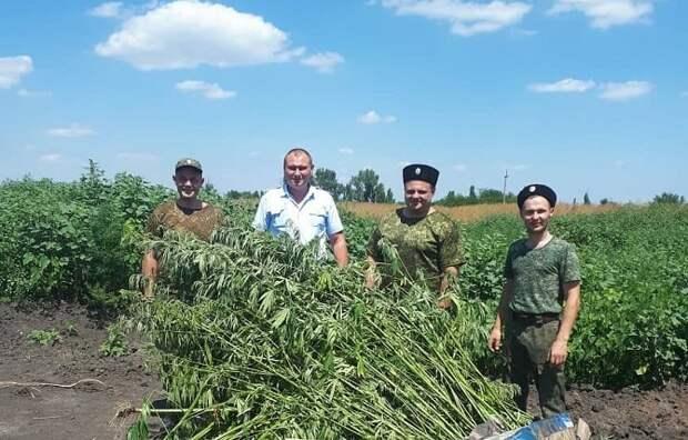 В Курганинском районе казаки уничтожили 1500 кустов конопли