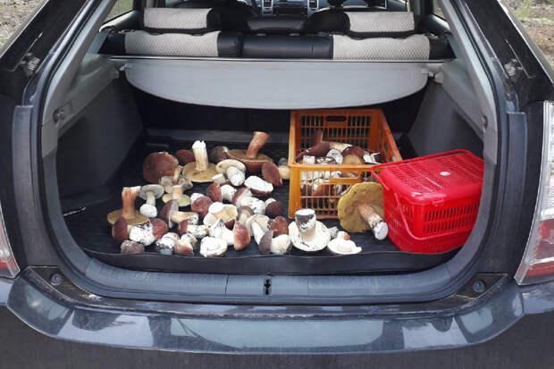 Везут из леса машинами: новосибирцы собирают огромные боровики и подберезовики