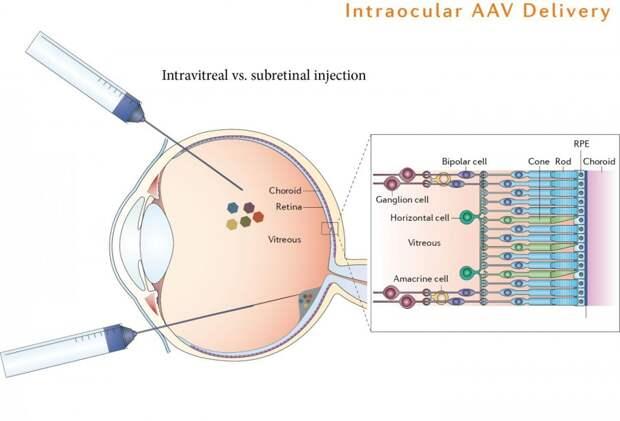 Ген водорослей возвращает зрение слепым