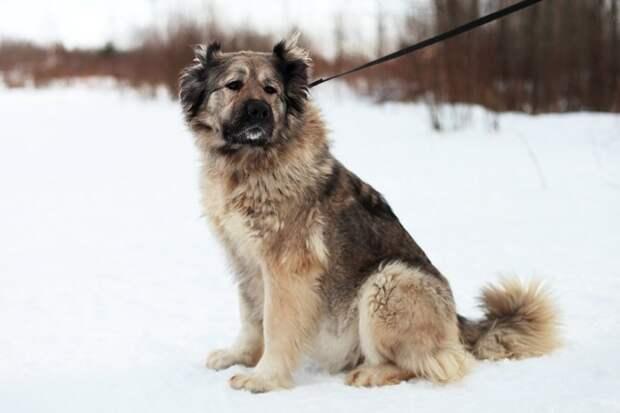 Овчарка неделями сидела на балконе, заточенная собственными хозяевами большая собака, волонтер, кавказская овчарка, овчарка, приют, собака