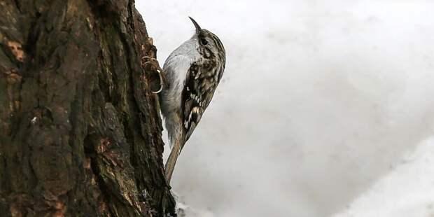 В парке «Тушинский» встретили птицу-древолаза