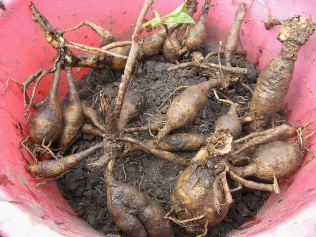 Георгины: стоит ли выкапывать корневища осенью и как хранить их зимой
