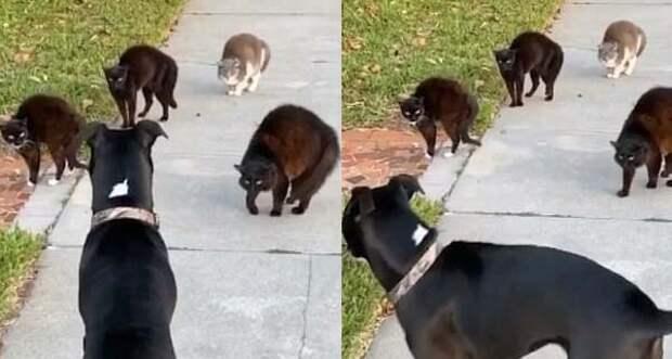 Домашний пес опрометчиво наткнулся на уличных флоридских котов