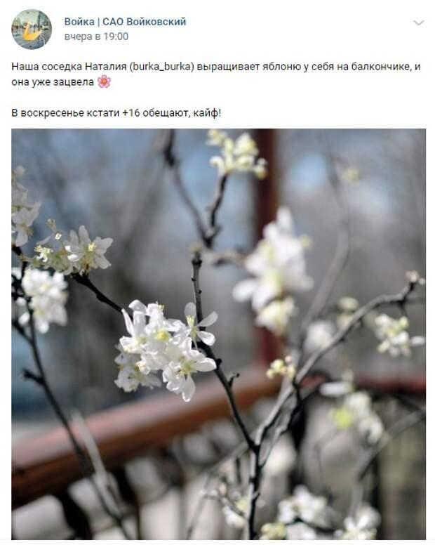 Фото дня: у жительницы Войковского зацвела домашняя яблоня