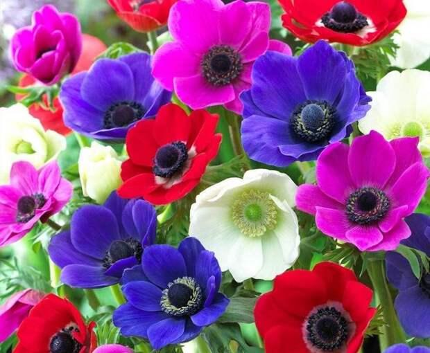 Яркие цветы анемонов украсят любую клумбу