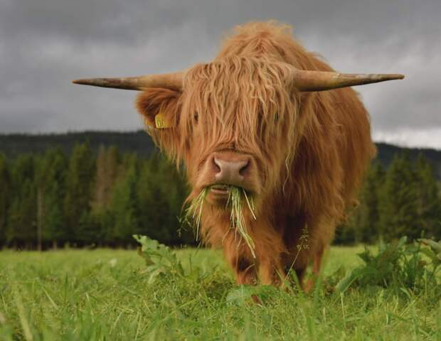 Хайленд: Коровы, что переживут даже русские зимы. Как суровые условия превратили бурёнку в чубаку