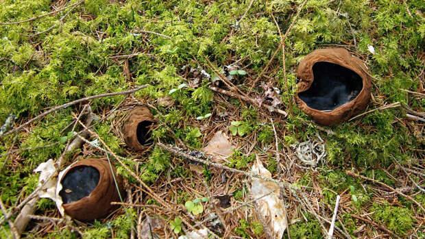 Редкий краснокнижный гриб вырос в заповеднике Кировской области