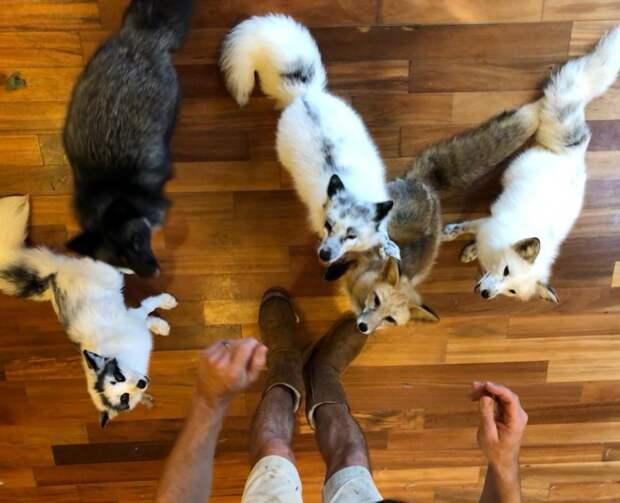 Редкая белая лисица поселилась в одном доме с собаками белая лиса, домашние животные, лиса