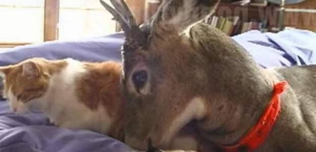 Заботливая кошка заменила одинокому маленькому олененку маму