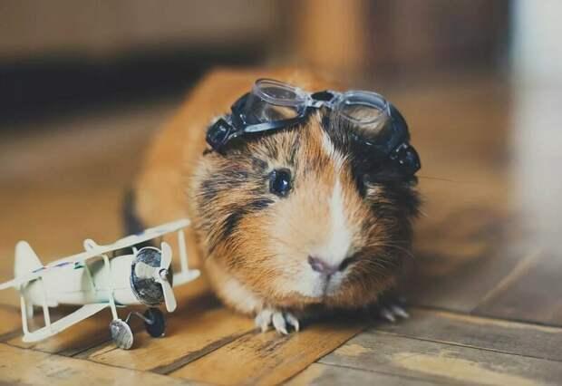 6 причин, почему вам необходимо завести морскую свинку домашние питомцы, морские свинки, уход за морскими свинками