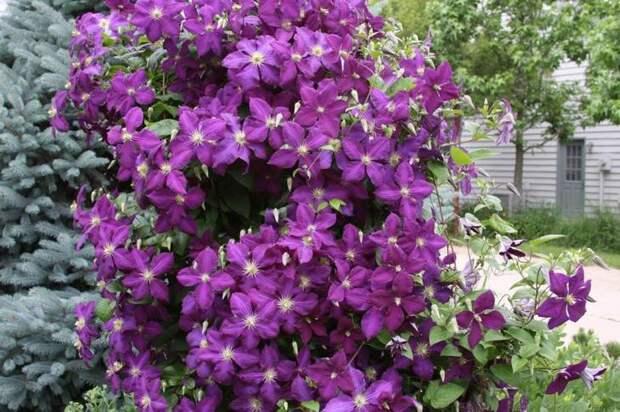 Клематис отличается долгим периодом цветения