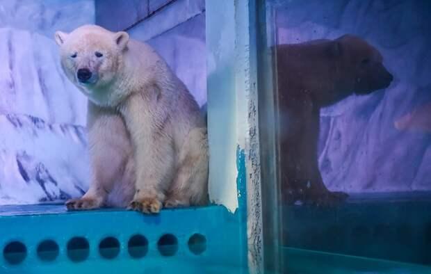 A világ legszomorúbb jegesmedvéje kapott egy kis szabadságot