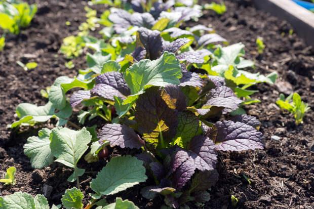 Какую полезную и вкусную зелень нужно посеять весной в первую очередь?