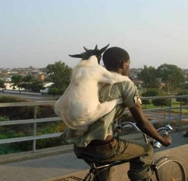 везет козла за спиной