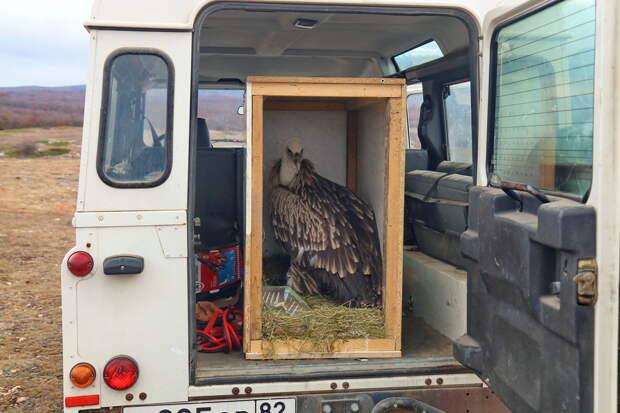 «Он был болен и потому вылетел далеко на север»: Как в Крым из Архангельска доставили редкую хищную птицу